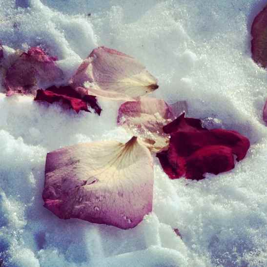 Rose pedals on the snow